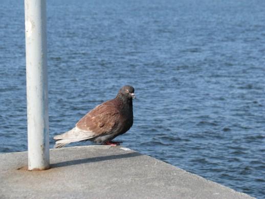 местный голубь